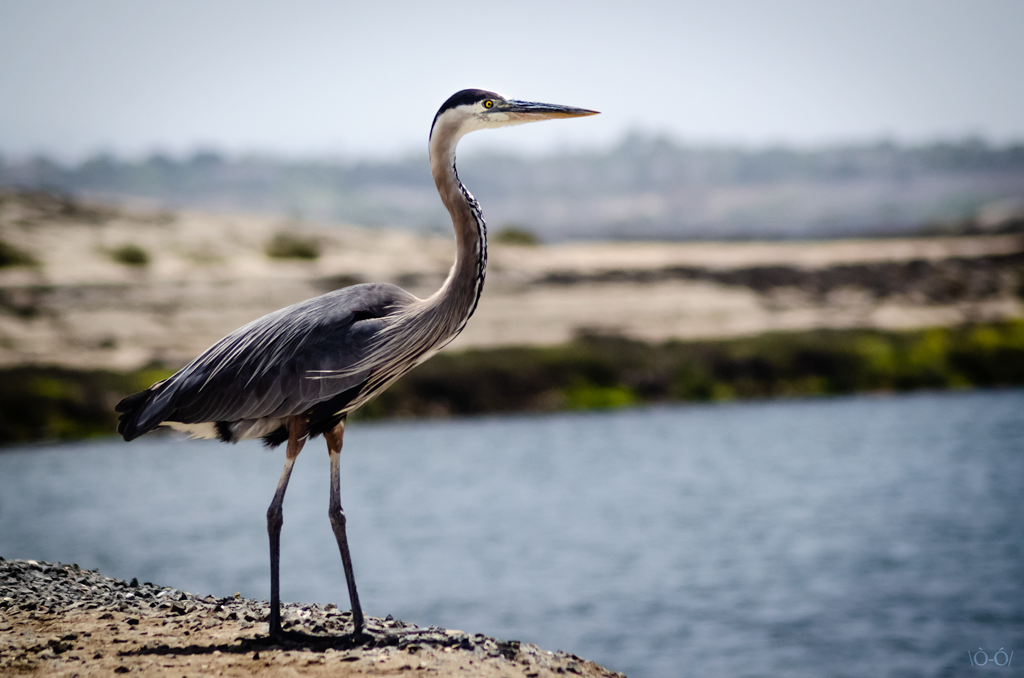 A Great Blue Heron at the Bolsa Chica Wetlands