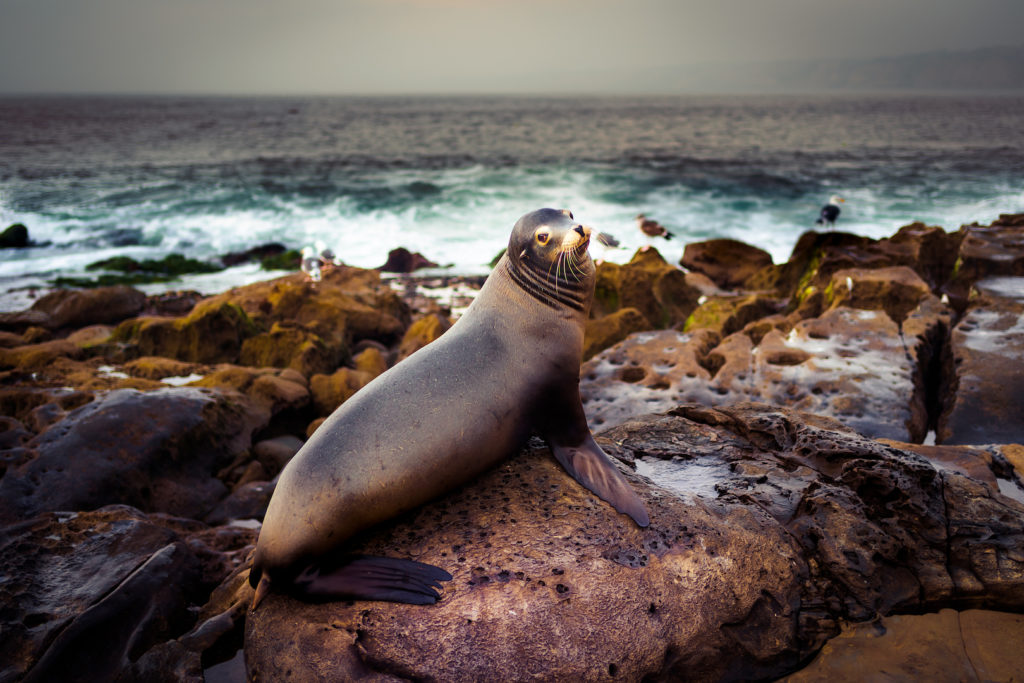 Image: La Jolla Sea Lion